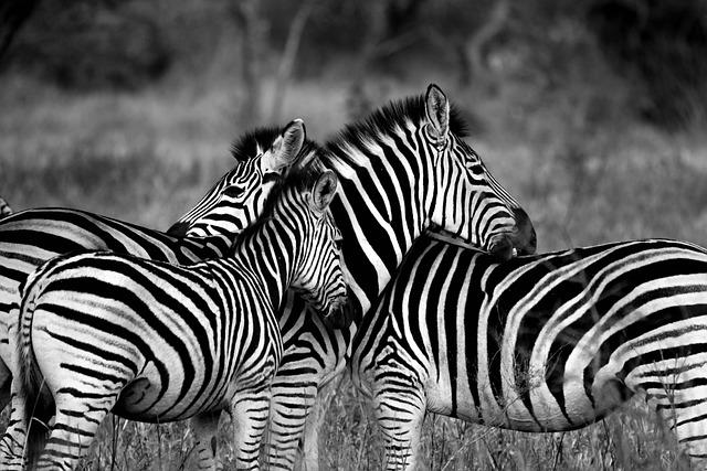 Zebra, Wildlife, Africa, Animal, Standing, Striped