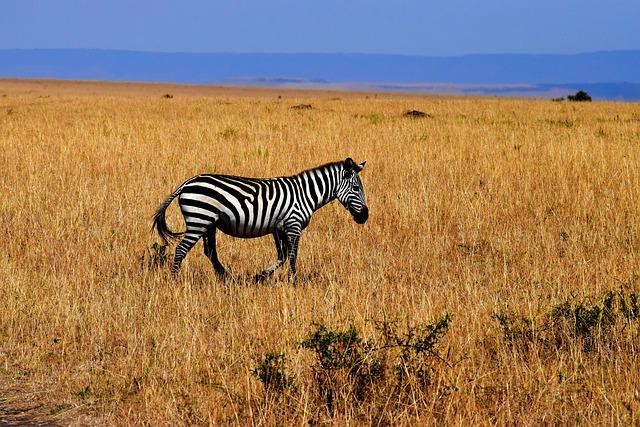 Zebra, Wildlife, Africa, Tanzania, Savannah