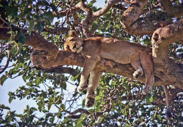 Uganda, Ishasha, Lion, Tree, National Park, Africa