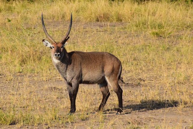 Waterbuck, Uganda, Antelope, Africa, Male, Savannah