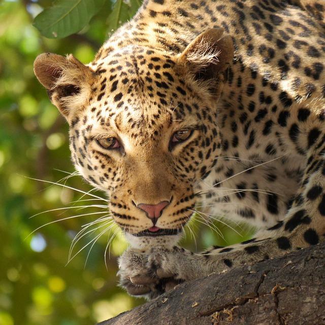 Leopard, Safari, Wildier, Botswana, Africa