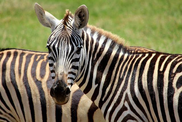 Zebra, Tsavo, Animal, Africa, Safari, Wilderness