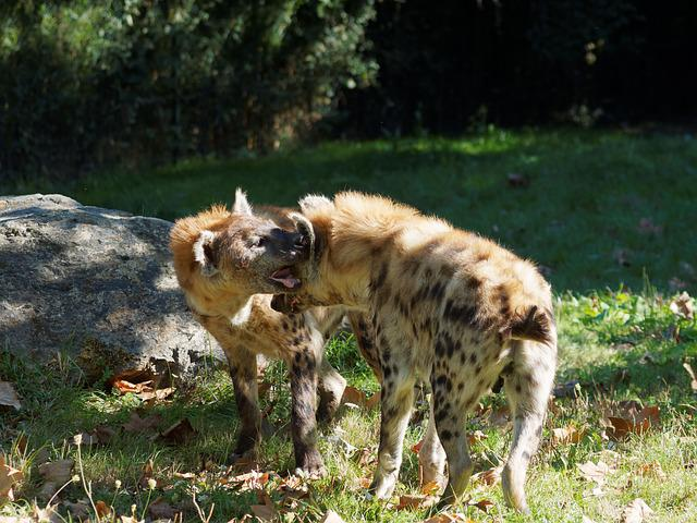 Hyenas, Hyénidae, Africa, Savannah, African Animals