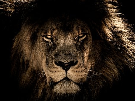 African Lion, Mane, Close Eyes, Wildlife, Wild