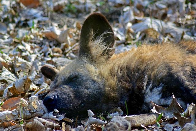 Jackal, African Wild Dog, Zooaufnahme