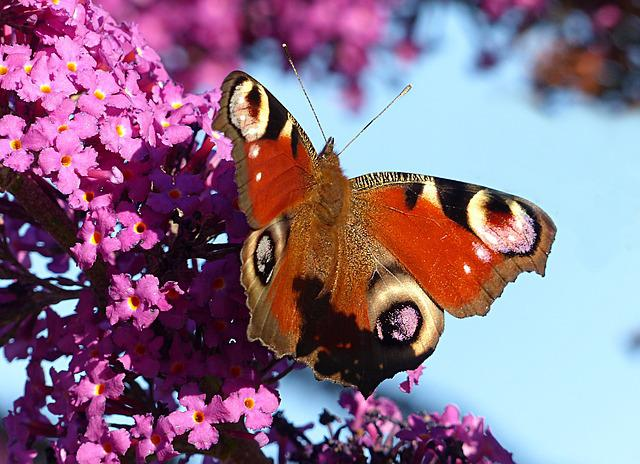 Animal, Insect, Butterfly, Peacock Butterfly, Aglais Io