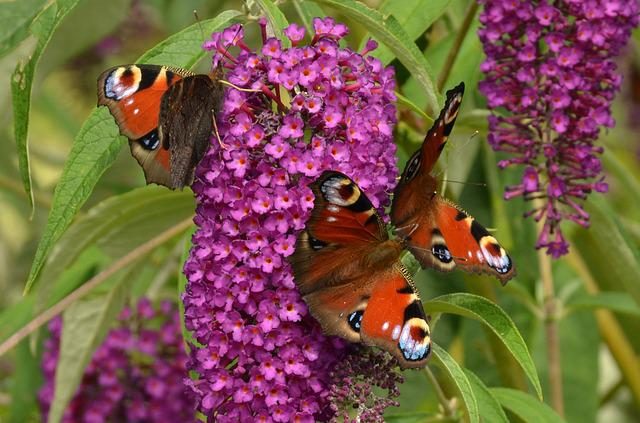 Peacock, Aglais Io, Butterfly, Butterfly Plant, Flower