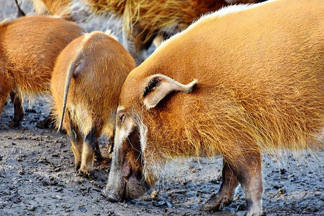 Beard Pig, Pig, Boar, Pig Snout, Asia, Agriculture