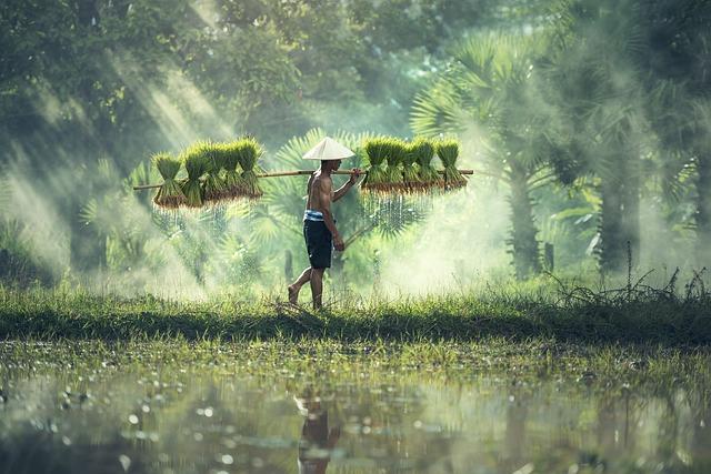 Agriculture, Asia, Cambodia, Grain, Cultivate