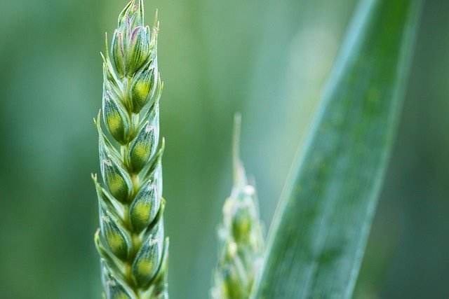 Agriculture, Background, Cereal, Corn, Countryside