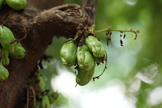 Kerala, Bilimbi, Nature, Tree, Fruit, Agriculture