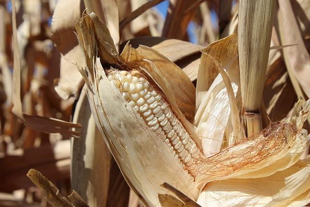 Cob, Corn, Agriculture, Cornfield, Dried Corn, Harvest