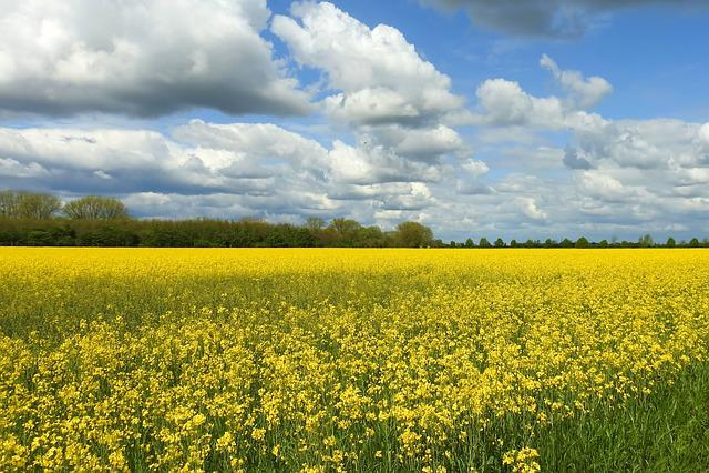 Oilseed Rape, Rape Blossom, Agriculture, Field