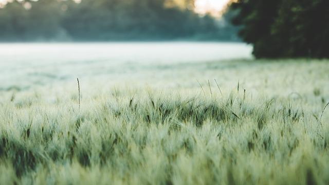 Field, Agriculture, Barley, Cereals, Cornfield, Grain