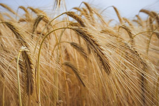 Field, Wheats, Grains, Agriculture, Landscape, Farm
