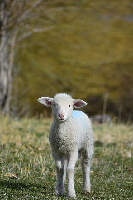 Lamb, Animal, Sheep, Cute, Nature, Rural, Agriculture