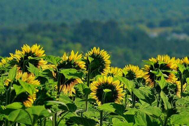 Nature, Agriculture, Sunflower, Landscape, Field