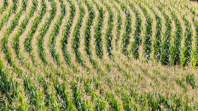 Field, Agriculture, Corn, Cornfield, Lines, Arches