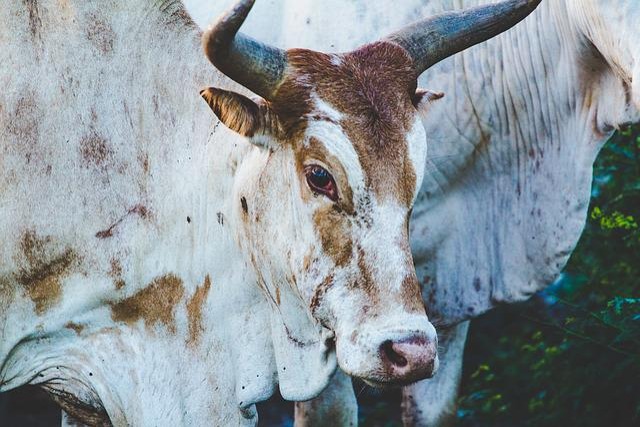 Cows, Beef, Milk, Agriculture, Closeup, Head, Horns