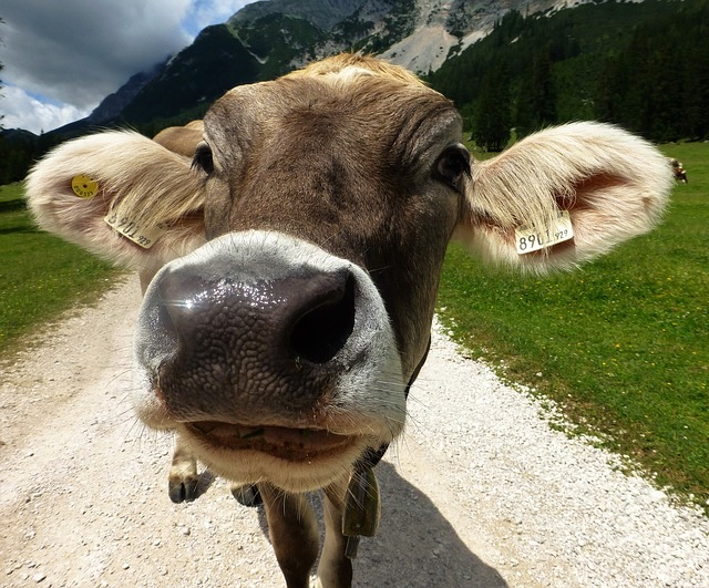 Beef, Cow, Cattle, Nature, Agriculture, Mountains