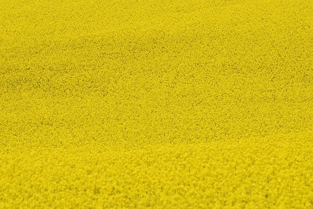 Rape, Agriculture, Plants, Yellow, Floral, Natural