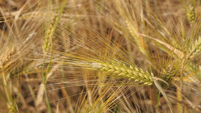 Spikes, Barley, Field, Agriculture, Nature, Yellow