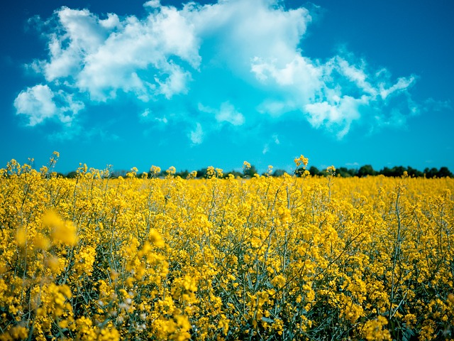 Meadow, Rapeseed, Agriculture, Field