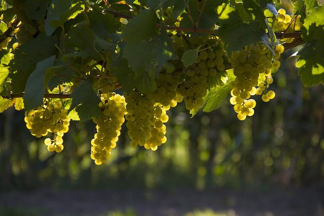 Grapes, Yellow, Harvest, Vineyard, Autumn, Agriculture