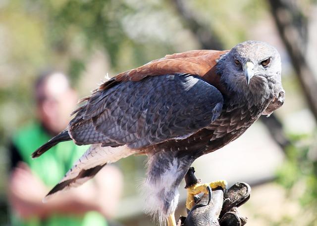 Falcon, Eagle, Ave, Bird Of Prey, Aguila, Birds Of Prey