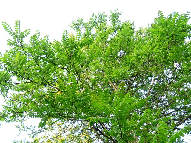 Crown, Tree, Leaves, Foliage, Ailanthus Altissima