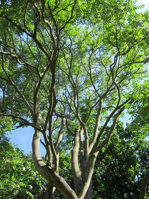 Ailanthus Altissima, Ailanthus, Tree Of Heaven, Tree