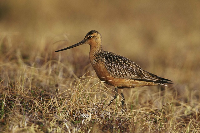 Bird, Ground, Tundra, Ailed, Bar, Lapponica, Limosa