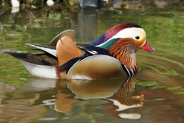 Duck, Mandarin Ducks, Aix Galericulata, Duck Bird, Bird