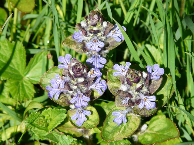 Ajuga Günsel, Pointed Flower, Ajuga Reptans L