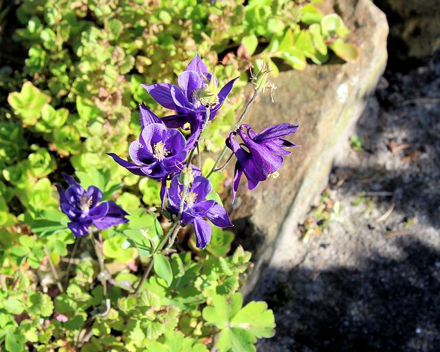 Akelei, Flower, Purple, Nature, Garden, Spring, Summer