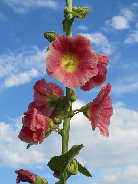 Alcea Rosea, Common Hollyhock, Wildflower, Flora