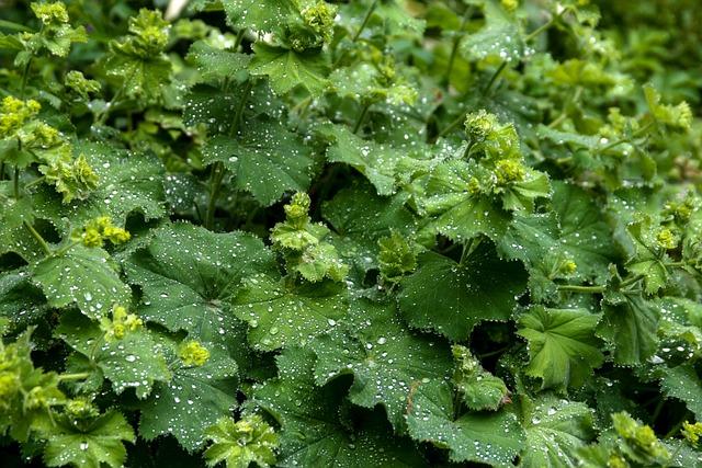 Frauenmantel, Alchemilla, Plant, Green, Rain, Garden