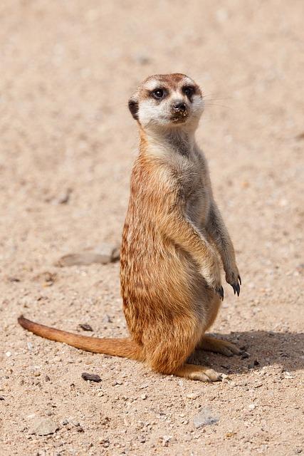 Alert, Animal, Cute, Fur, Hair, Look, Lookout, Mammal