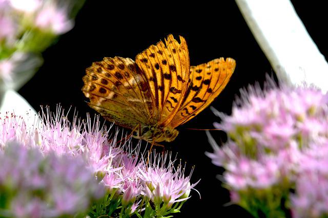 Butterfly, Ali, Insect, Nectar, Nature, Bloom