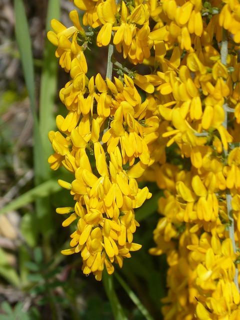 Gorse, Aliaga, Argilaga, Yellow Flower, Flowering