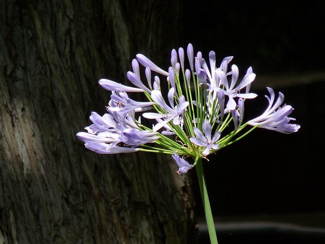 Purple Flower, Alium, Garden