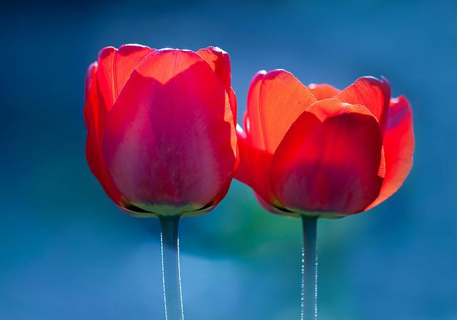 Flower, Nature, Tulip, No One, Summer, Alive