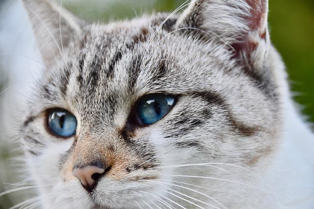 Cat, Alley Cat, Nose Of Cat, Blue Eyes, Whiskers