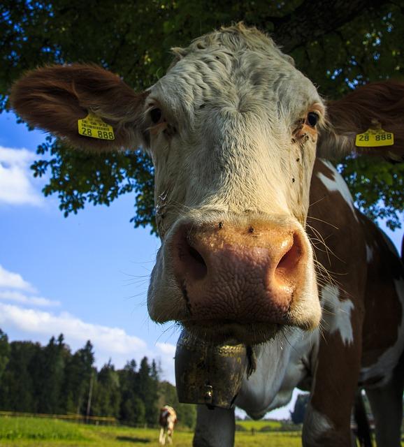 Kuhportrait, Pasture, Dairy Cattle, Ruminant, Allgäu