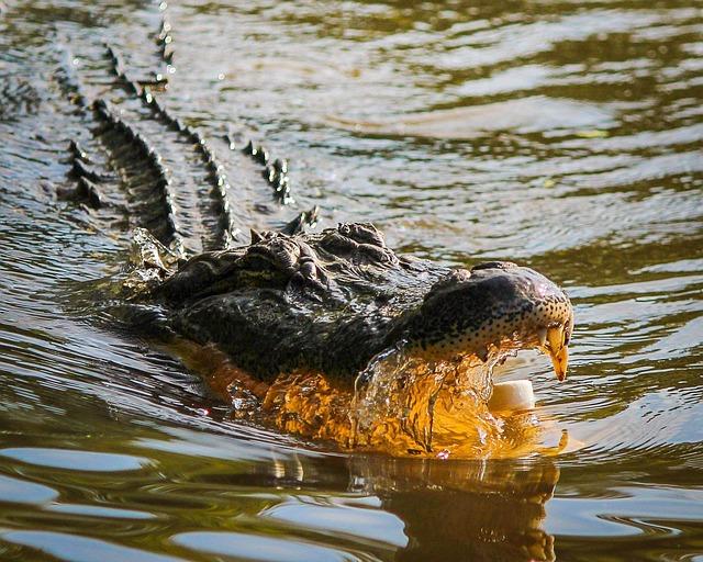 Alligator, American Alligator, Gator, Dangerous, Attack