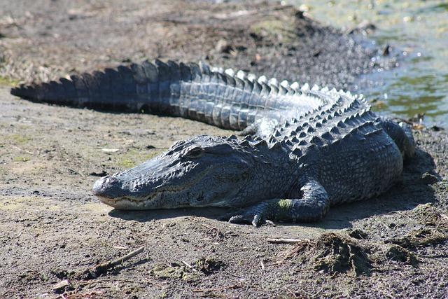 Alligator, Gator, Wildlife, Animal, Sunbathing, Wild