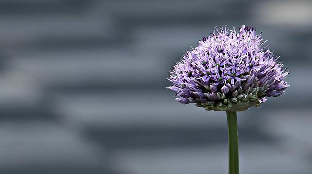 Ornamental Onion, Allium, Flower, Blossom, Bloom