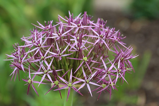 Allium-lauch, Flowers, Allium, Leek Greenhouse