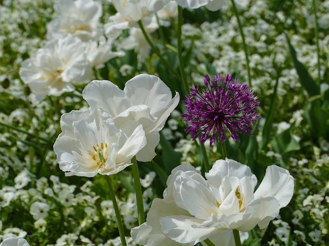 White Tulips, Large Flowers, White Pansy, Allium