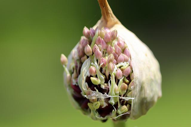 Allium, Leek, Ornamental Onion, Leek Flower